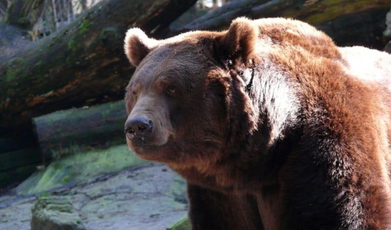 the Russian Bear